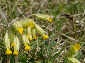 Bee fly and cowslip